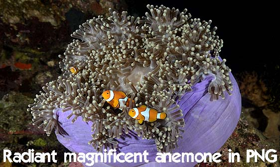 anemonefish_clown_false_cc_mb_h_0023_png5622_web.jpg