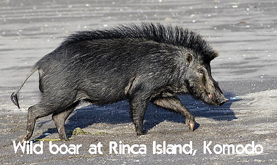 boar_hsb_rinca_h_2443_kom4812_web.jpg