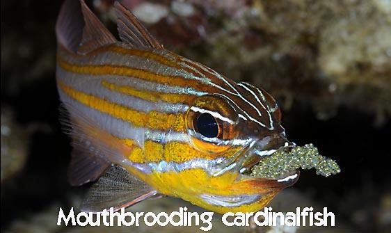 cardinalfish_wassinki_bhr_tam_h_0826_bal6832_web.jpg