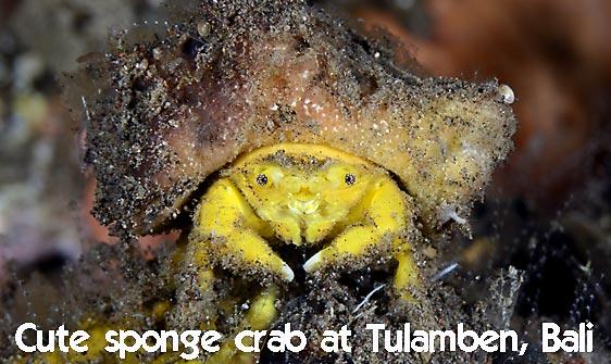 crab_sponge_shr_tam_h_0021_bal6394_web.jpg