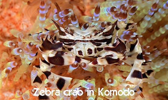 crab_zebra_cr_hsb_r_h_0210_kom3206_web.jpg