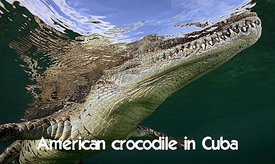 crocodile_american_chiq_jar_h_0066_cub1014_web.jpg