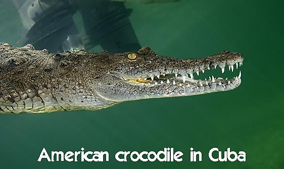 crocodile_american_chiq_jar_h_0129_cub1654_web.jpg