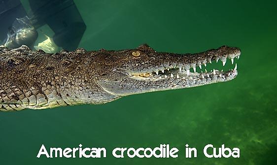 crocodile_american_chiq_jar_h_0130_cub1655_web.jpg