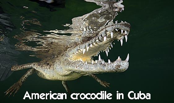 crocodile_american_chiq_jar_h_0147_cub1672_web.jpg