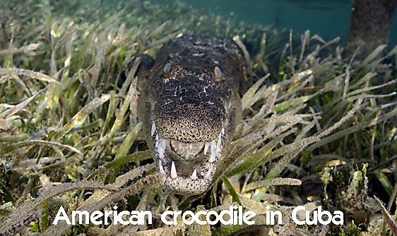 crocodile_american_chiq_jar_h_0267_cub2424_web.jpg
