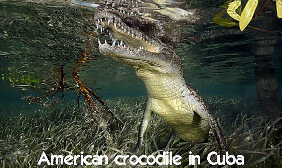 crocodile_american_chiq_jar_h_0272_cub2429_web.jpg