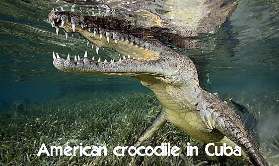 crocodile_american_chiq_jar_h_0294_cub2451_web.jpg