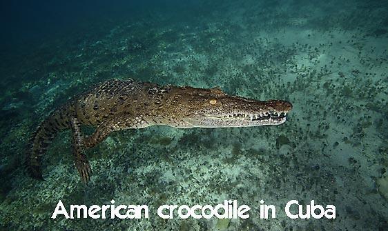 crocodile_american_chiq_jar_h_0412_cub2569_web.jpg