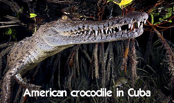 crocodile_american_chiq_jar_h_0565_cub2722_web.jpg