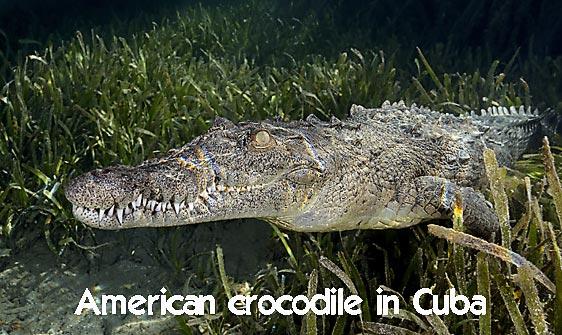 crocodile_american_chiq_jar_h_0607_cub2765_web.jpg