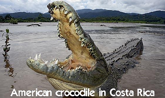crocodile_american_tar_h_1129_cos2077_rv_web.jpg