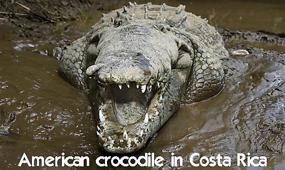 crocodile_american_tar_h_1591_cos2594_web.jpg