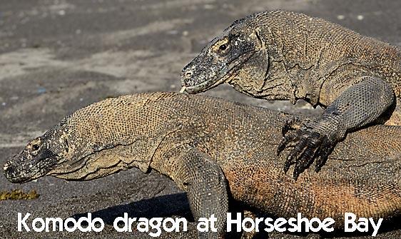dragon_komodo_hsb_rinca_h_1792_kom4147_web.jpg
