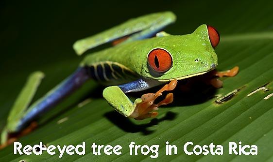 frog_tree_redeyed_tar_h_0623_cos0953_web.jpg