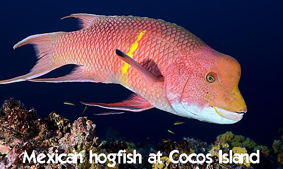 hogfish_mexican_alc_ci_h_0101_cos3135_web.jpg