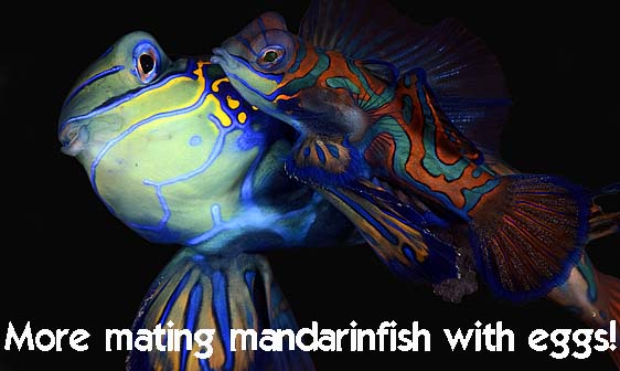 mandarinfish_std_h_0257_pal1136_web.jpg