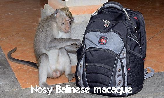 monkey_macaque_balinese_mf_ubud_h_1048_bal4765_web.jpg