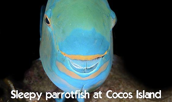 parrotfish_wb_ci_h_0090_cos1828_web.jpg