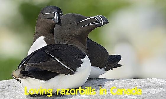 razorbill_msi_h_1751_can1373_web.jpg