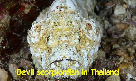 scorpionfish_devil_rr_sur_h_0069_tha1547_rv_web.jpg