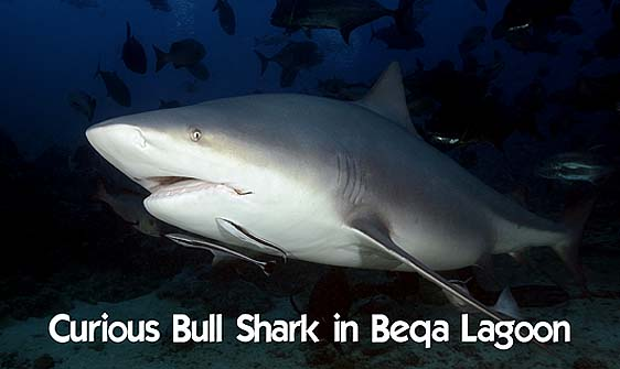 shark_bull_1d_srmr_beqa_h_0341_fij9270_rv_web.jpg