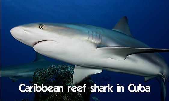 shark_caribbean_bc1_jar_h_0161_cub1908_web.jpg