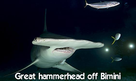 shark_hammerhead_great_bim_h_0184_bim0226_web.jpg