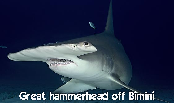 shark_hammerhead_great_bim_h_0197_bim0243_rv_web.jpg