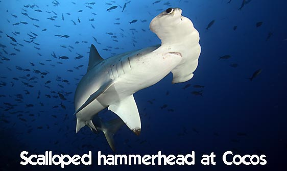 shark_hammerhead_scalloped_mo_ci_h_0232_cos4188_web.jpg