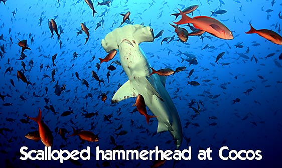 shark_hammerhead_scalloped_mo_ci_h_0269_cos4225_web.jpg