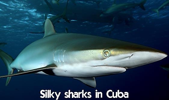 shark_silky_far_jar_h_0080_cub1357_web.jpg