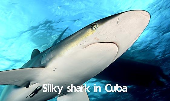 shark_silky_far_jar_h_0211_cub1491_web.jpg