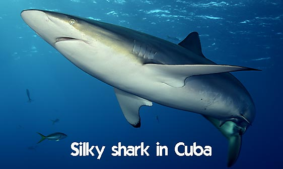 shark_silky_far_jar_h_0231_cub1511_web.jpg