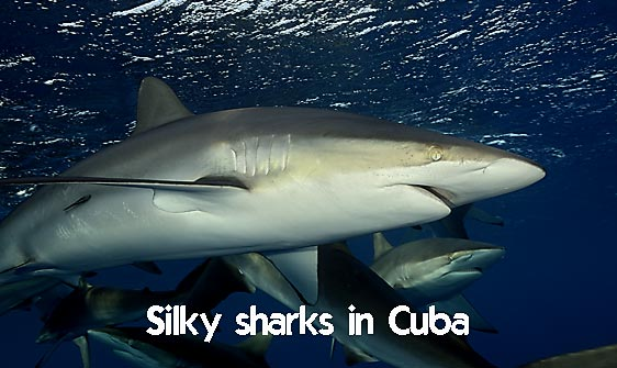 shark_silky_far_jar_h_0316_cub1601_web.jpg