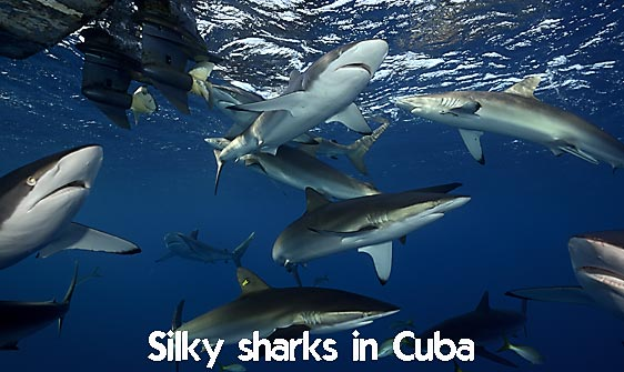 shark_silky_far_jar_h_0317_cub1602_web.jpg