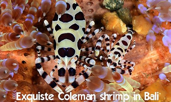 shrimp_coleman_bhr_tam_h_0330_bal6190_web.jpg