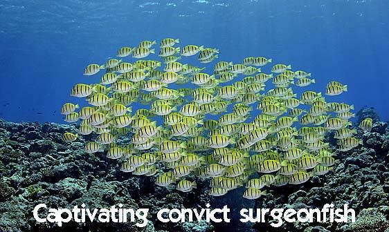 surgeonfish_convict_ver_h_0029_yap0295_web.jpg