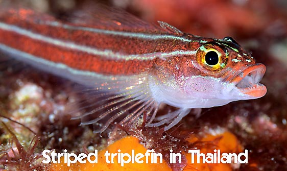 triplefin_striped_hd_lan_h_0042_tha0358_web.jpg