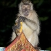 monkey_macaque_longtailed_pt_v_0006_tha0699.jpg