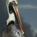 pelican_brown_can_v_0207_mex0217.jpg