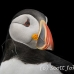 puffin_atlantic_msi_h_0853_can0677.jpg