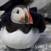 puffin_atlantic_msi_h_1248_can0868.jpg