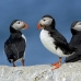 puffin_atlantic_msi_h_1639_can1260.jpg