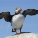 puffin_atlantic_msi_h_2560_can1932.jpg