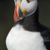 puffin_atlantic_msi_v_0986_can0599.jpg