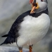 puffin_atlantic_msi_v_1018_can0632.jpg
