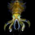 squid_reef_bigfin_bb_v_1374_alo3463.jpg