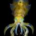 squid_reef_bigfin_bb_v_1376_alo3465.jpg