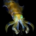 squid_reef_bigfin_bb_v_1378_alo3467.jpg